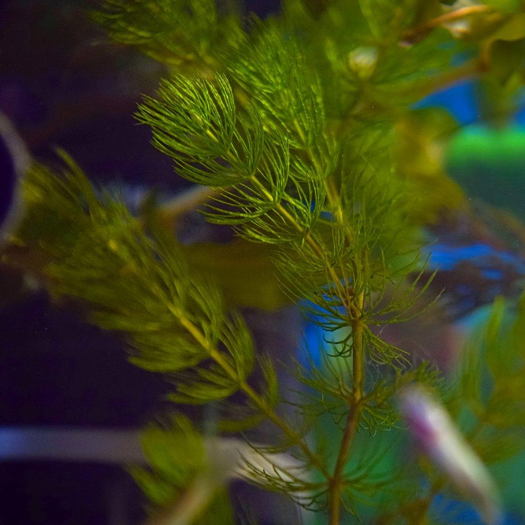 Hornwort Plant Care