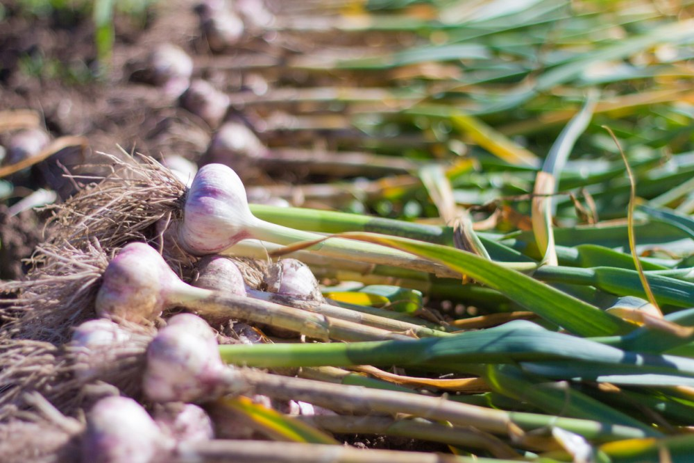 Young garlic on the ground, freshly harvested, fresh harvest