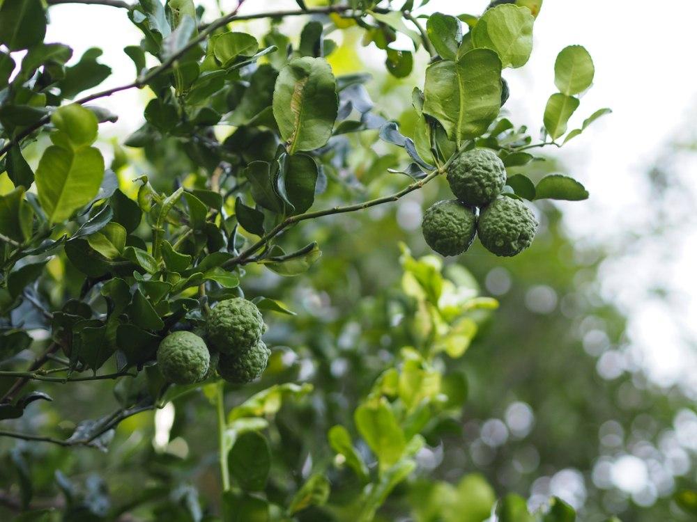 Kaffir Lime Tree - How To Grow And Care For The Kaffir Lime