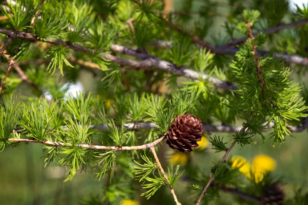 Larch Tree
