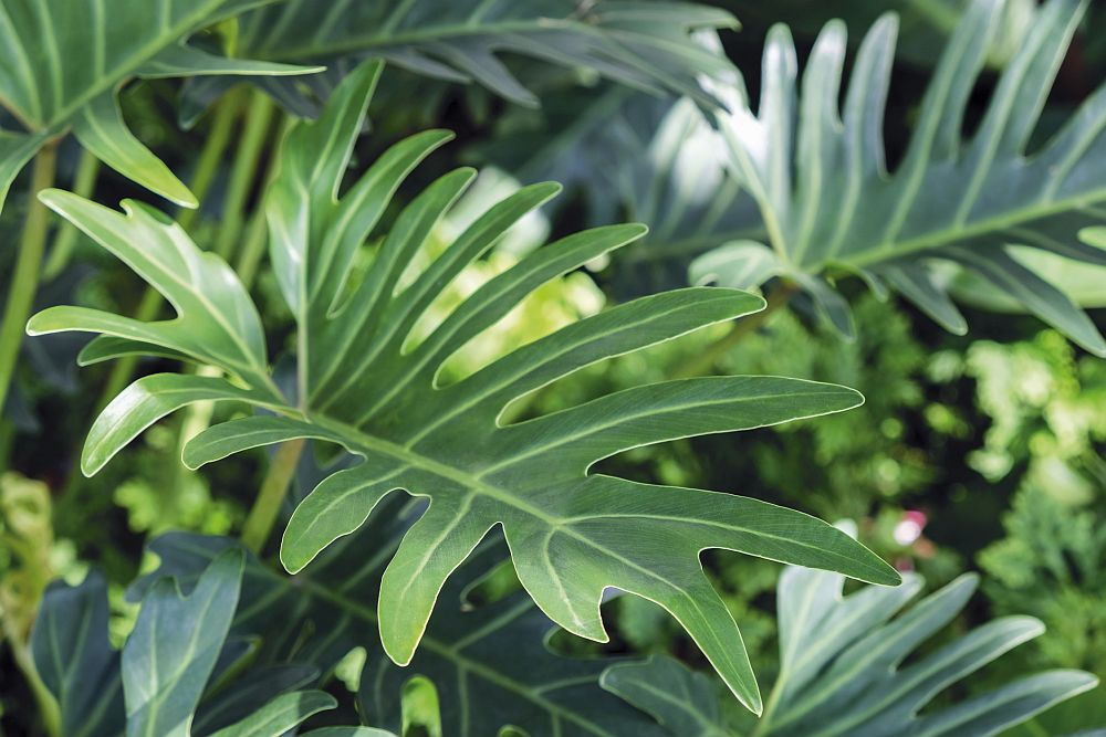 Philodendron Xanadu outdoors