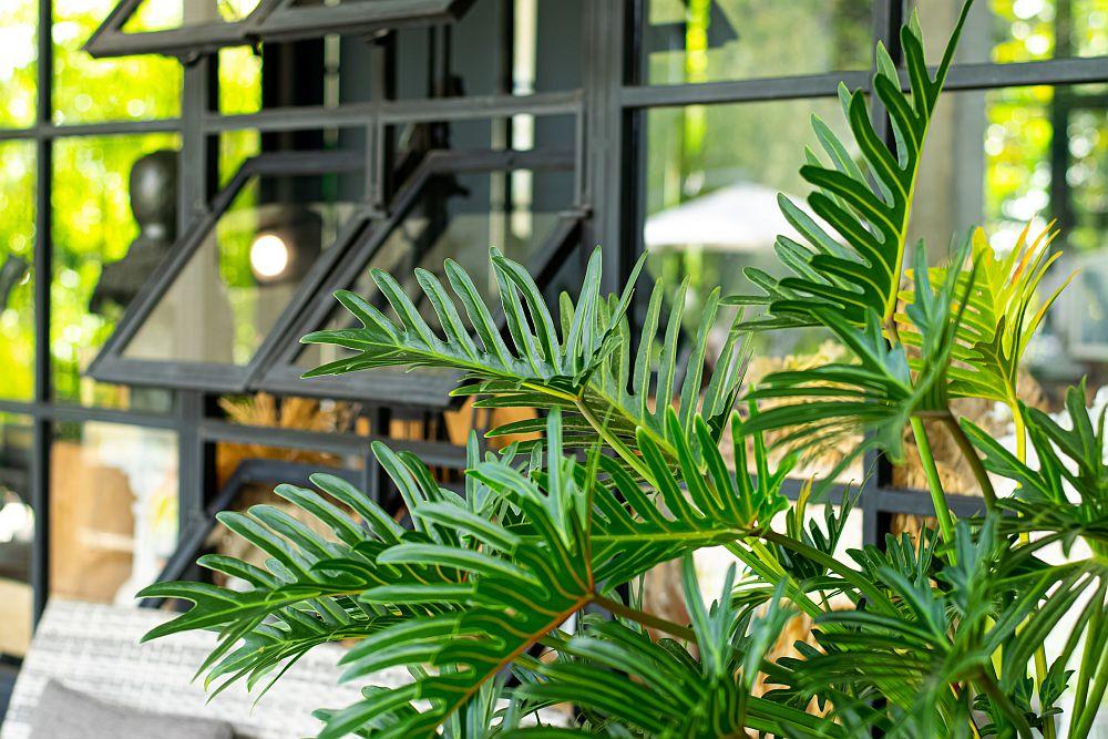 Philodendron Xanadu air purification plant