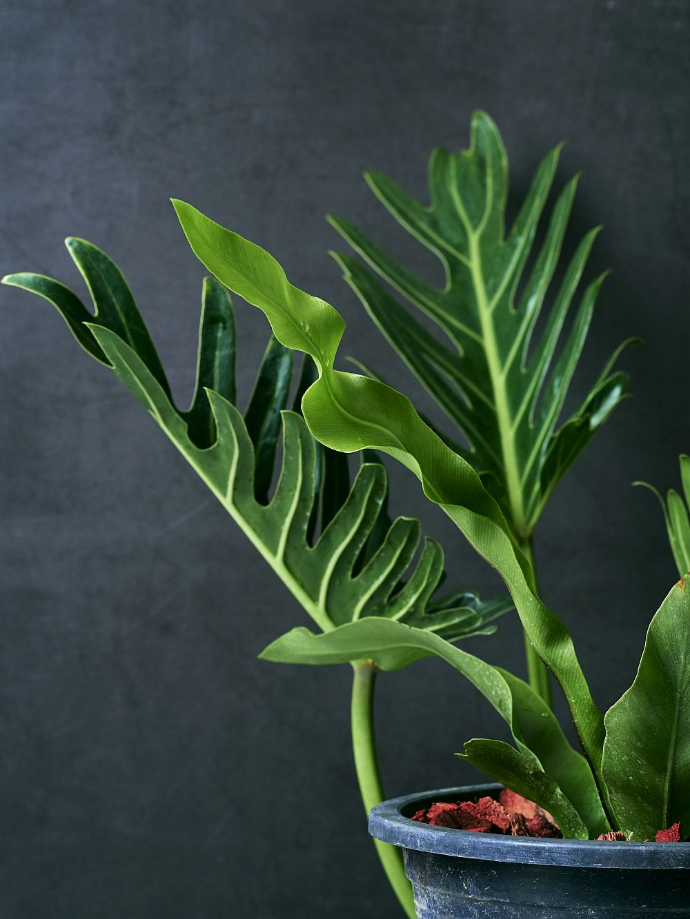 Philodendron xanadu potted