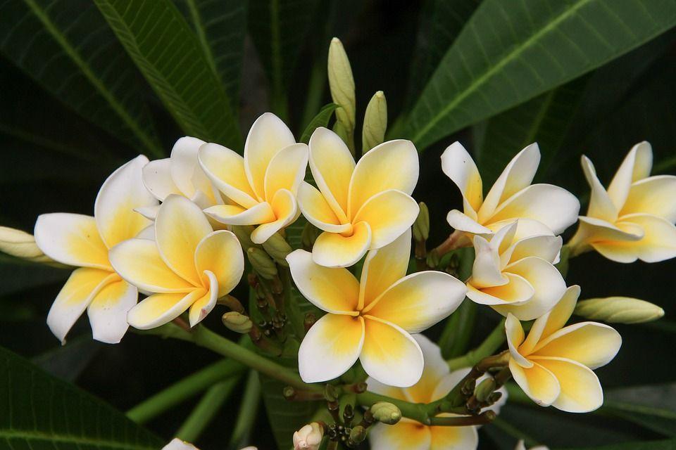Plumeria flower white and yellow
