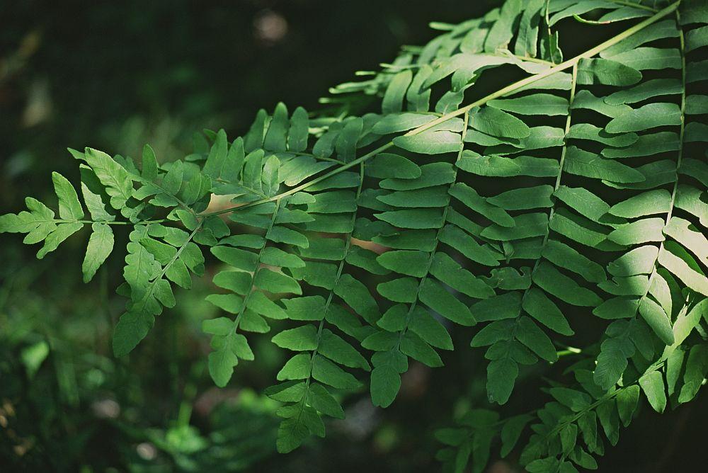 Royal fern plant