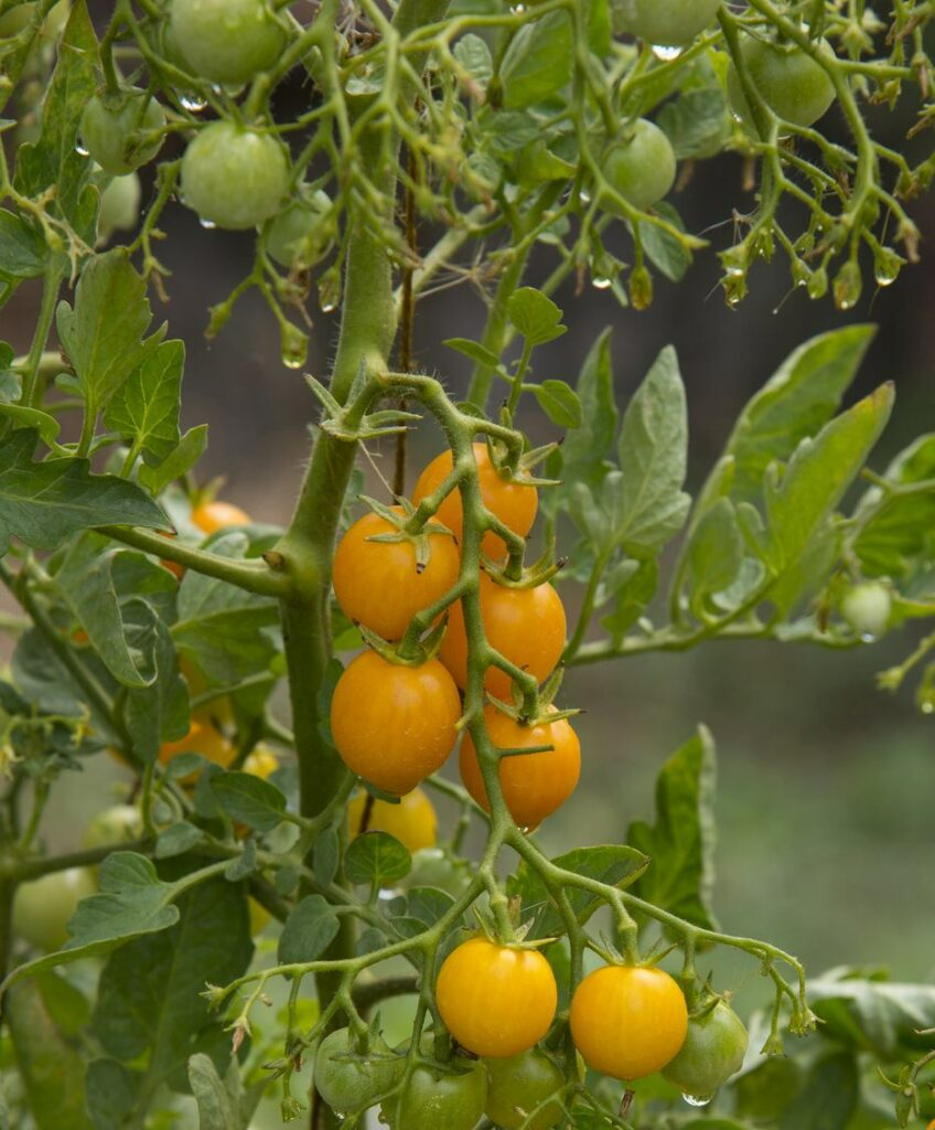 Why Tomato Leaves Turn Yellow