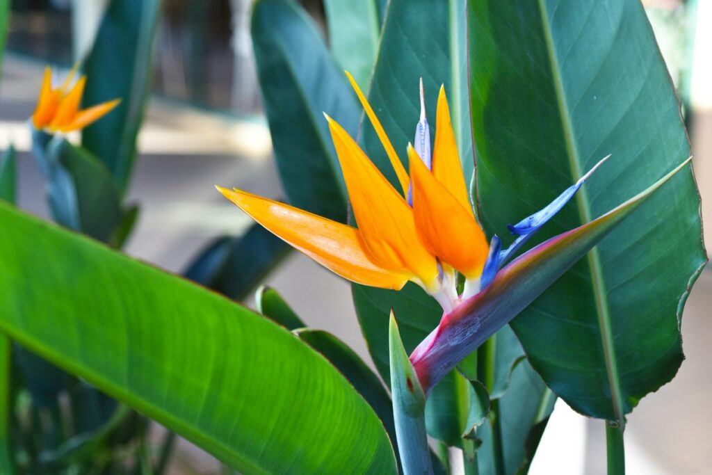 Bird Of Paradise Care: How To Grow And Care For Bird Of Paradise Plants
