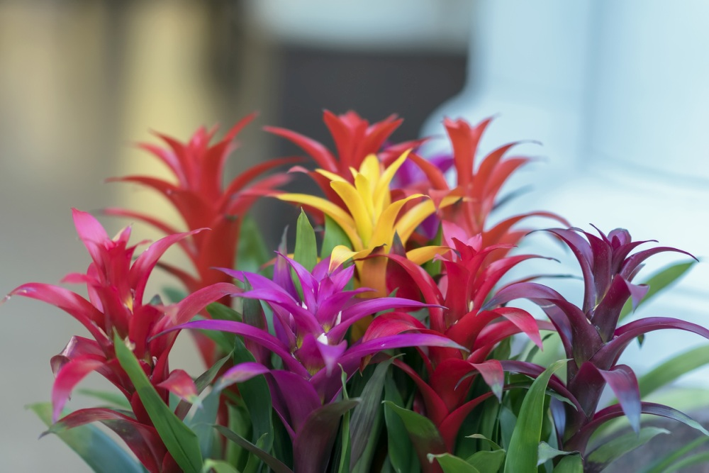Bromeliad Plant Care