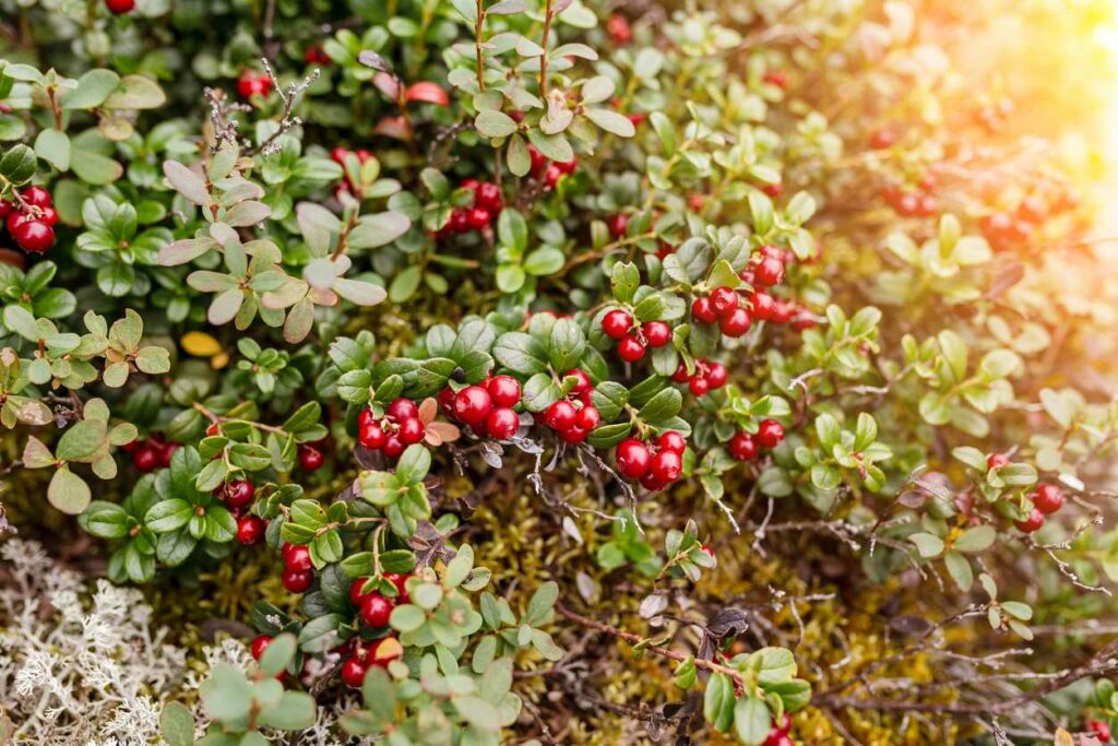 Cranberry Vine Care