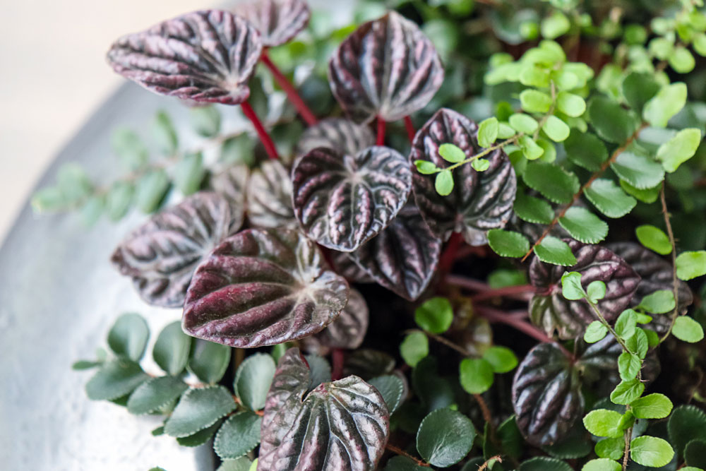 How to care for peperomia caperata