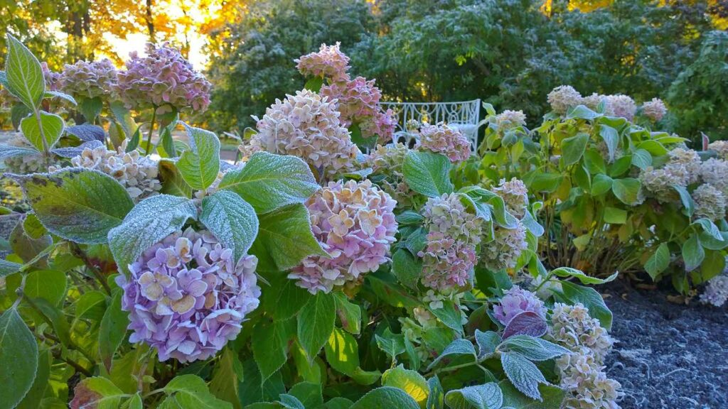 How To Grow And Care For Hydrangeas
