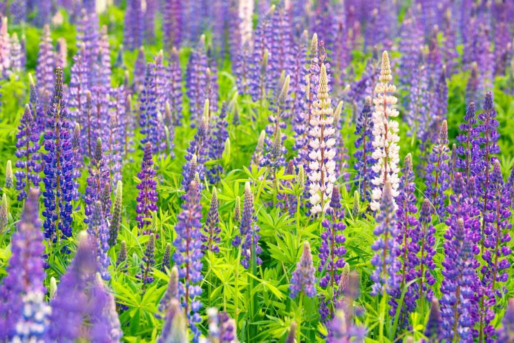 Lupine Flowers Care