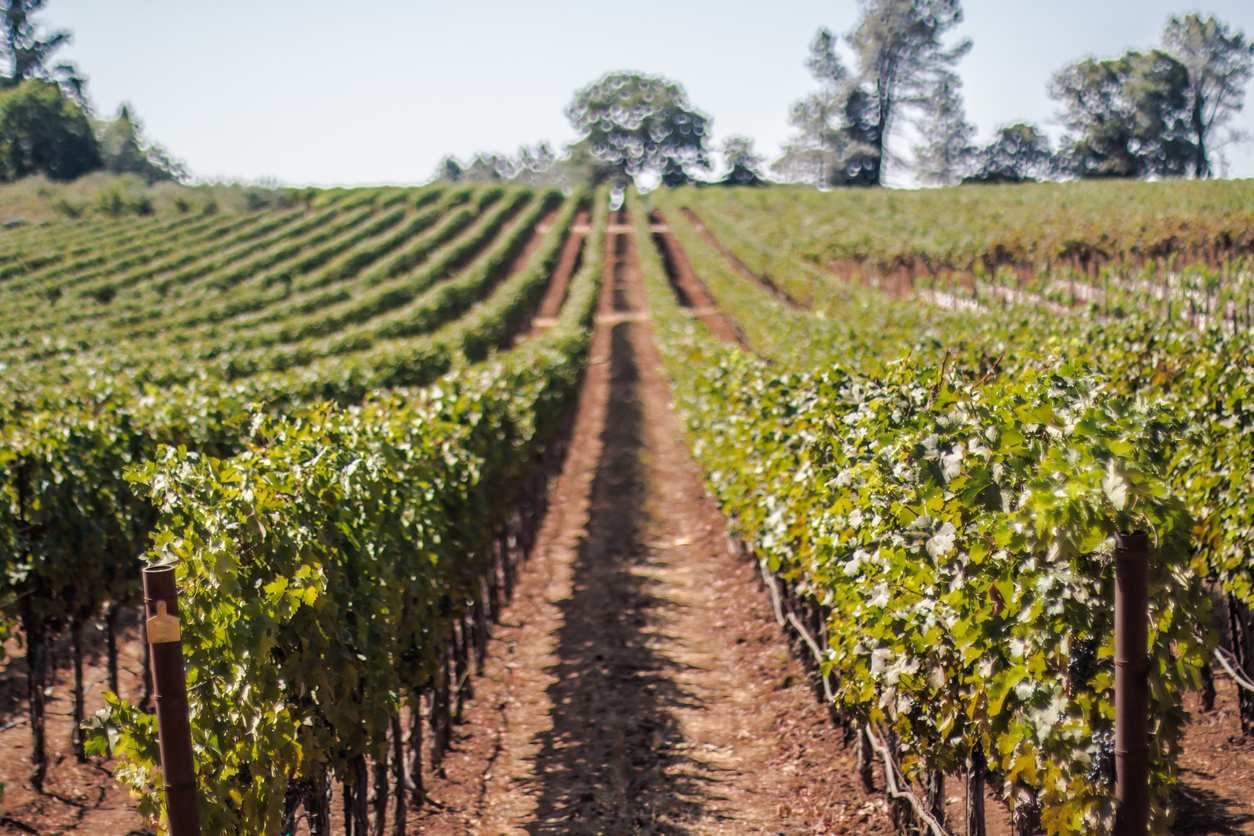 Planting Grapevines