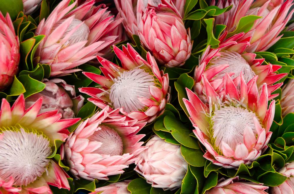 Protea Plants  - How To grow