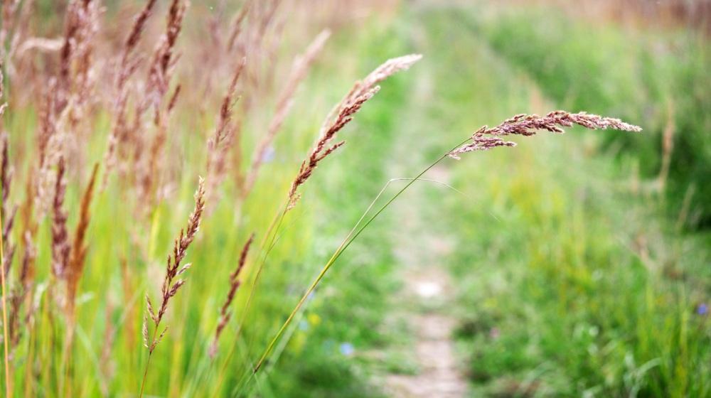 Red fescue grass