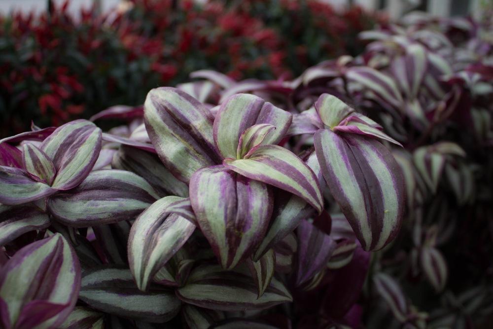 Wandering jew plants