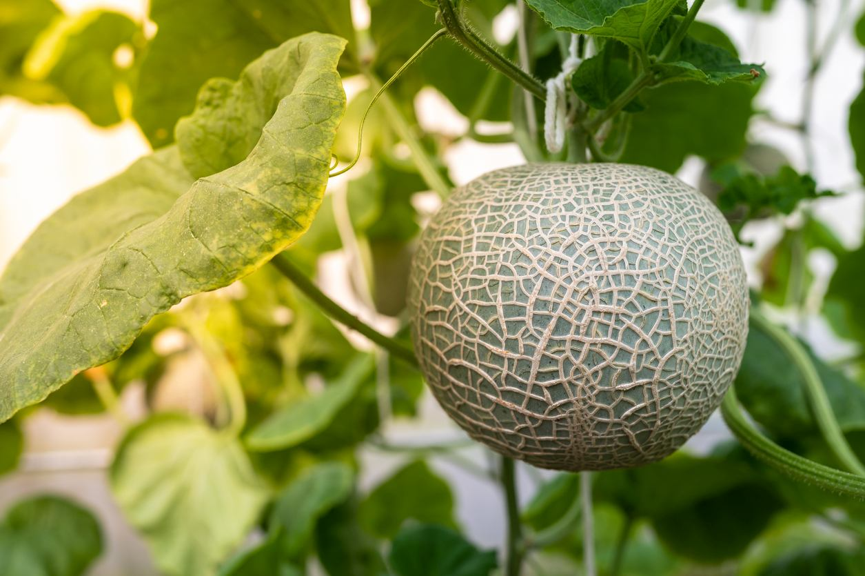 Close up of melon fruit with leaves in the farm