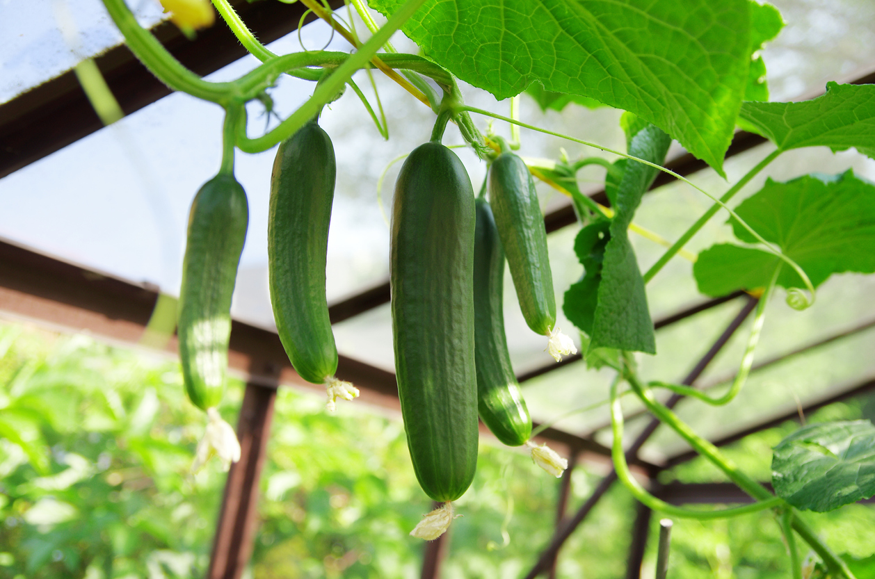 Cucumbers in greenhouse growing cucumbers