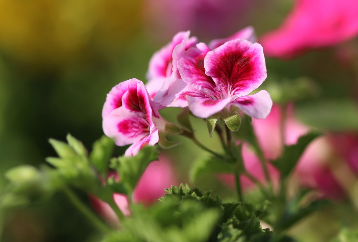 Rose geranium flower close up