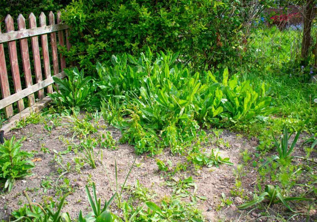 Общие газонные сорняки