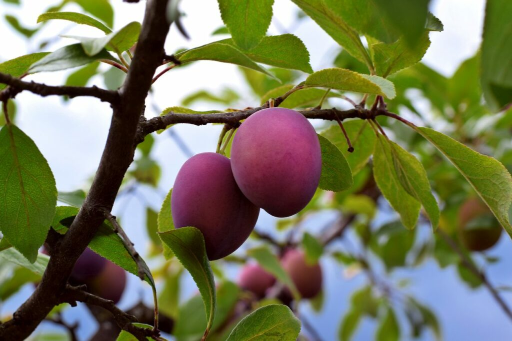 Plum Tree Care -