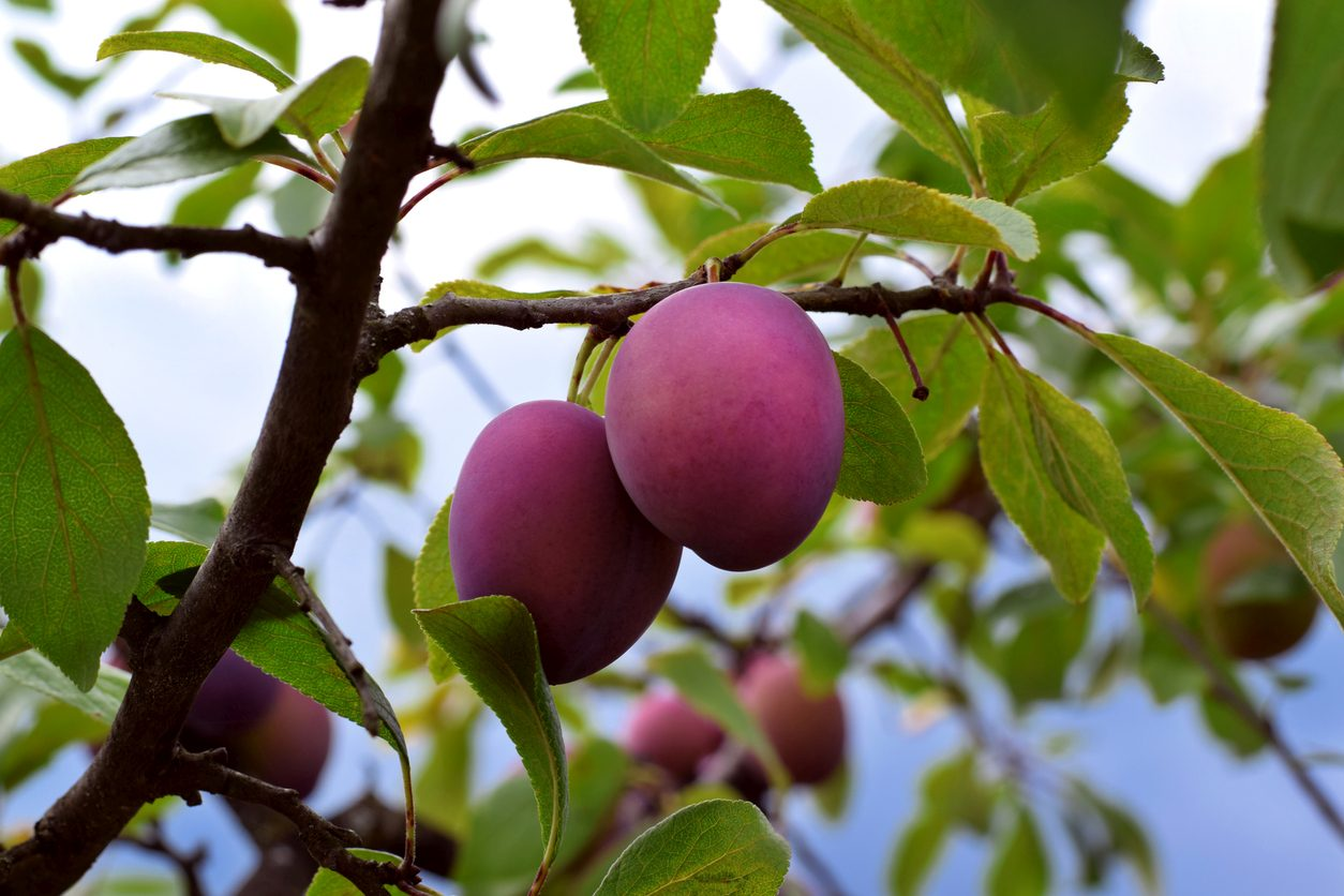 Damson plums ripening on the tree