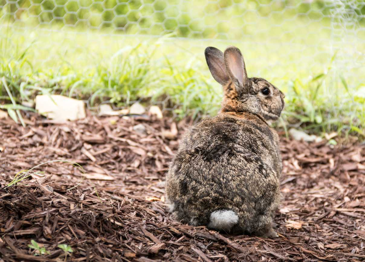 Adorable small brown and gray easter bunny rabbit relaxes in the garden