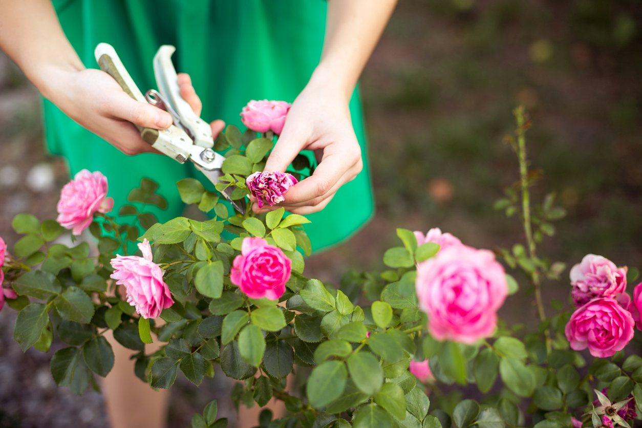Типы роз: разные сорта роз в вашем саду
