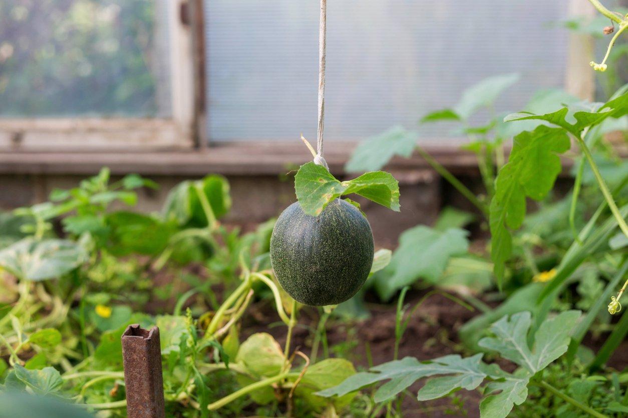 Арбузы в контейнерах — выращивайте и собирайте арбузы вертикально