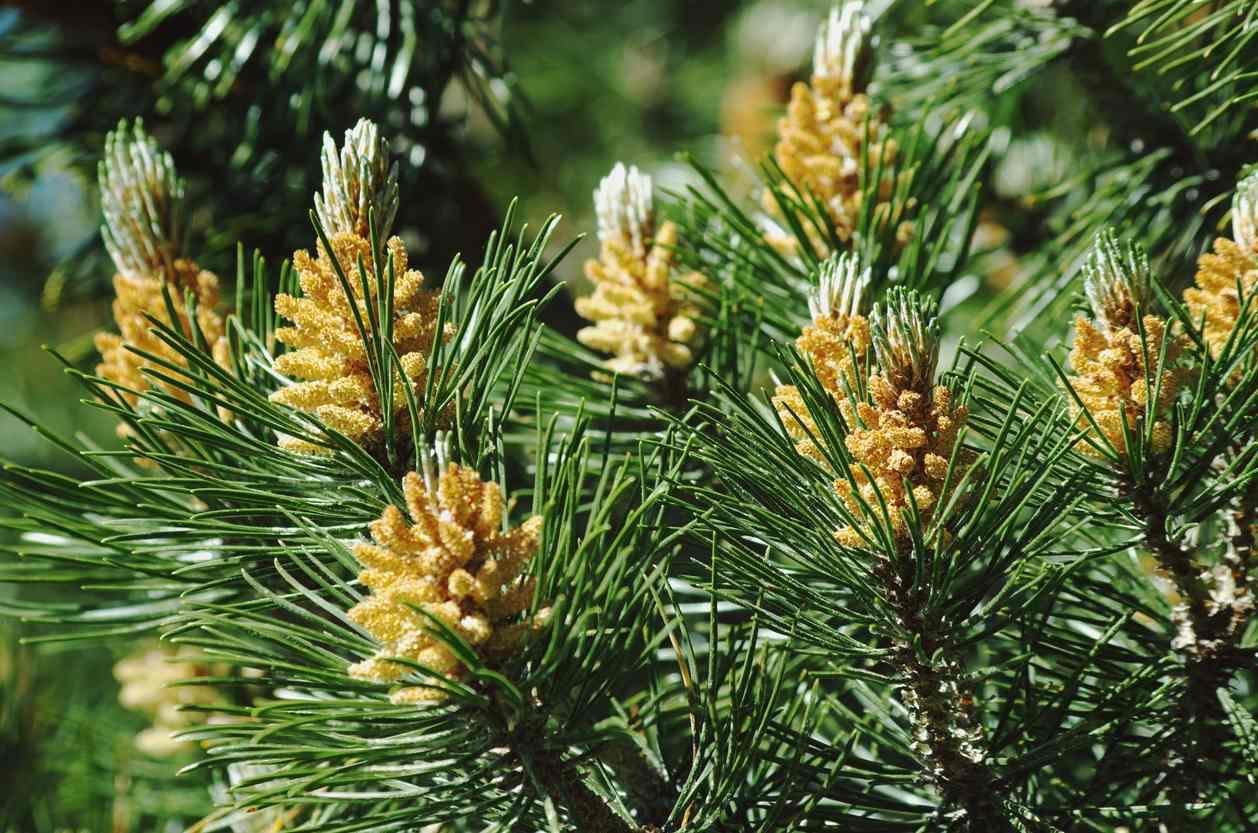 White Pine Tree