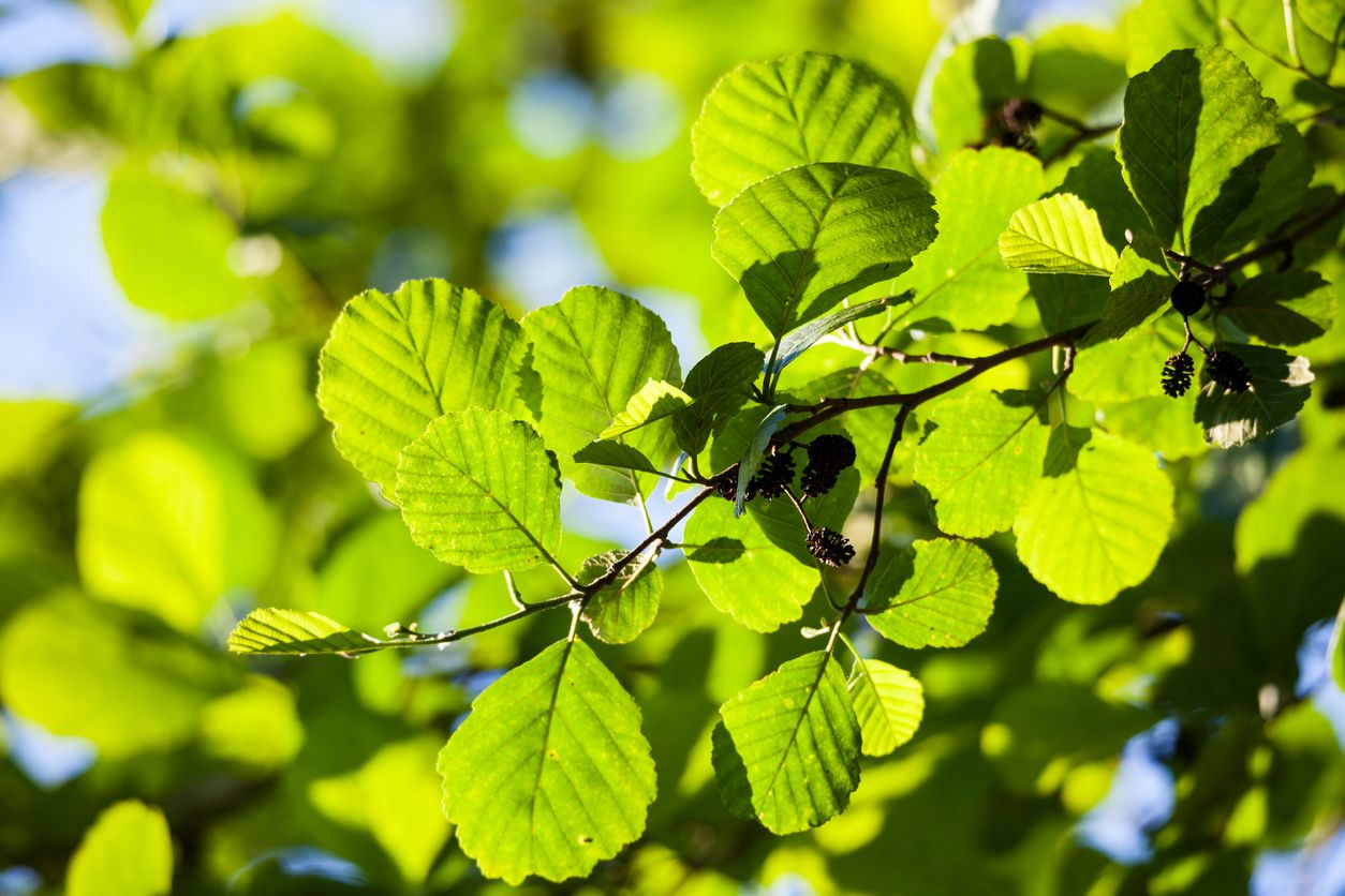 Alder leaves in sunlight