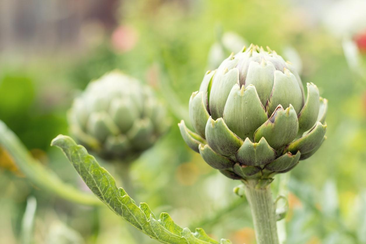 Artichoke Plant Care