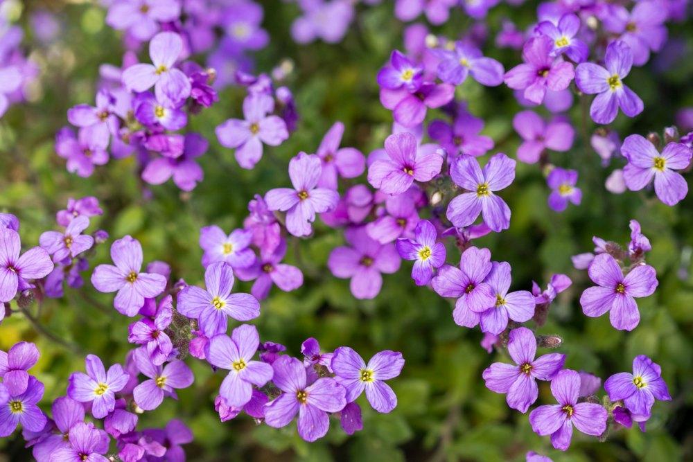 Aubrieta Plants