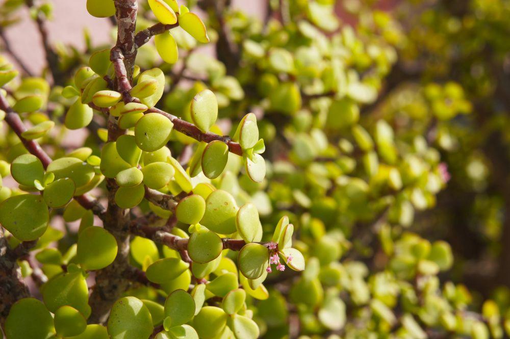 Portulacaria afra or elephant bush or dwarf jade succulent green plant