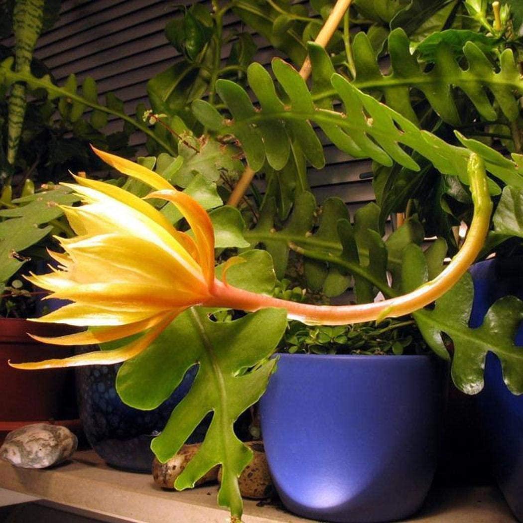 Epiphyllum anguliger succulent spider zig zag cactus