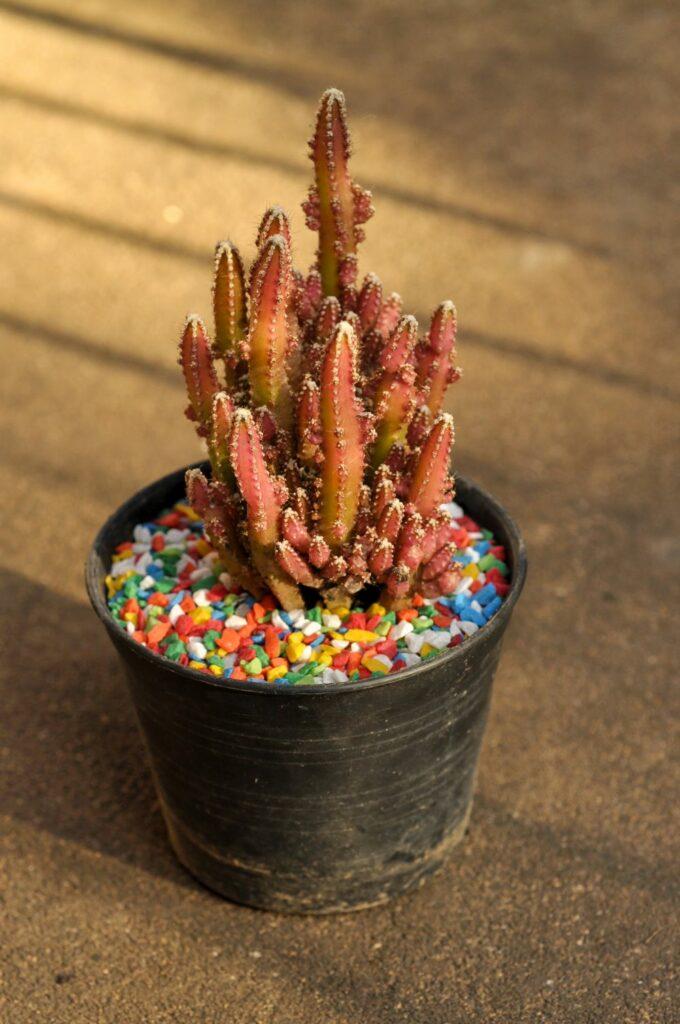 Fairy castle cactus in the pot