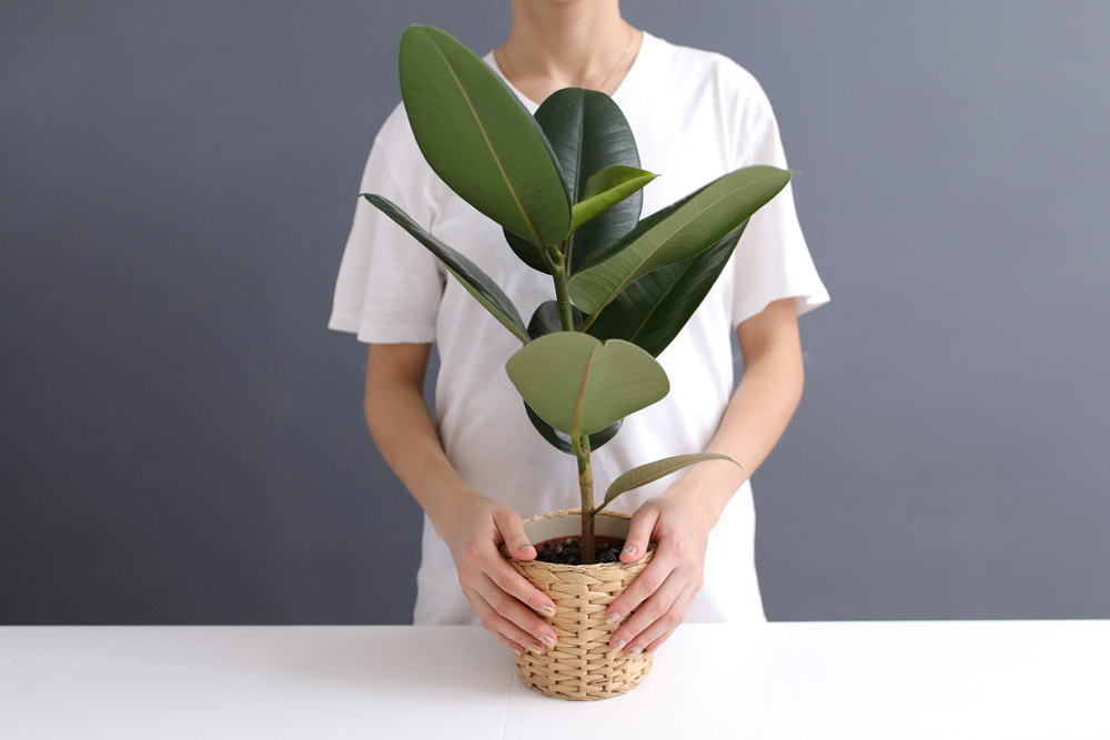 Ficus elastica types of rubber plants