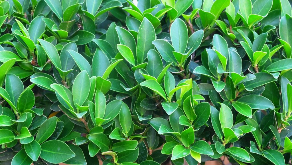Ficus Microcarpa Care: Tips on Growing & Caring For The Green Island Ficus Tree