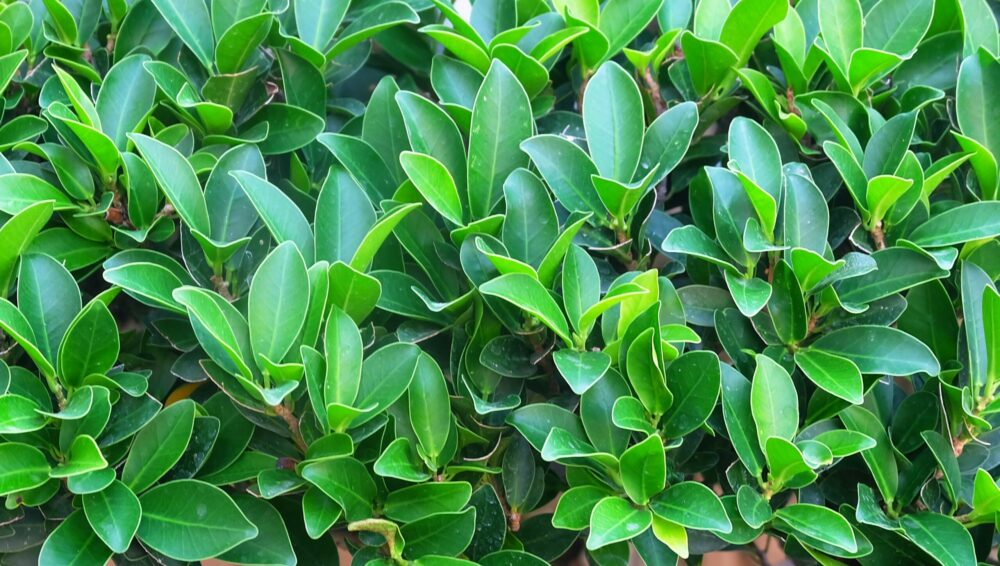 Ficus microcarpa or chinese banyan tree background