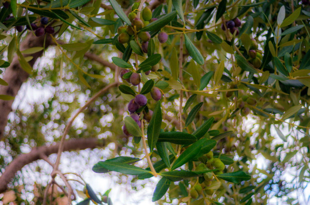 Olive Trees - How To care