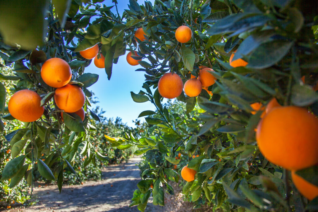Orange plantation in california usa