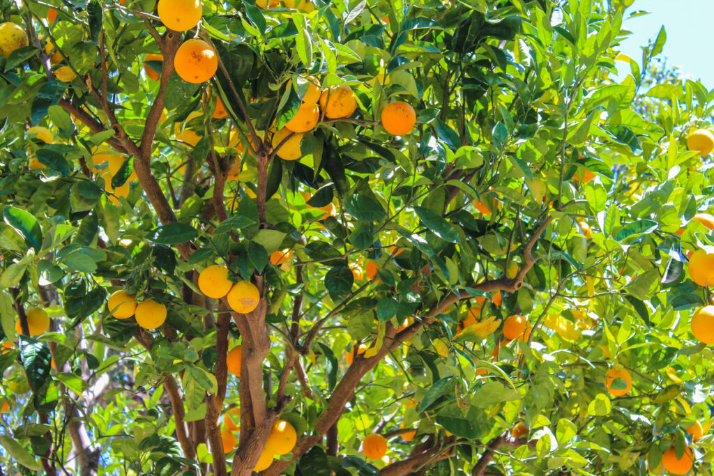 Californian orange grove
