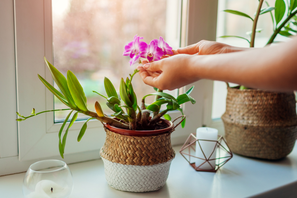 Dendrobium orchid woman taking care of home plats close up of female hands holding flowers