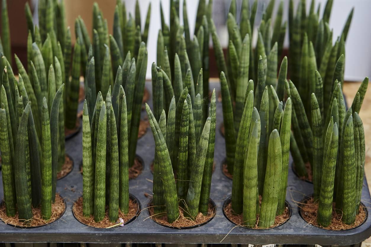Уход за сансевиерией клилидрической: как выращивать и ухаживать за растением цилиндрической змеи