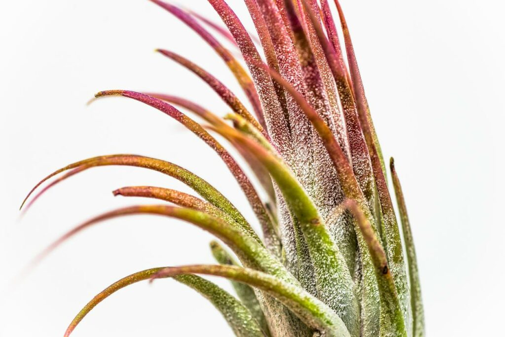 """Airplant tillandsia ionantha """"red"""" photographed against a white background"""