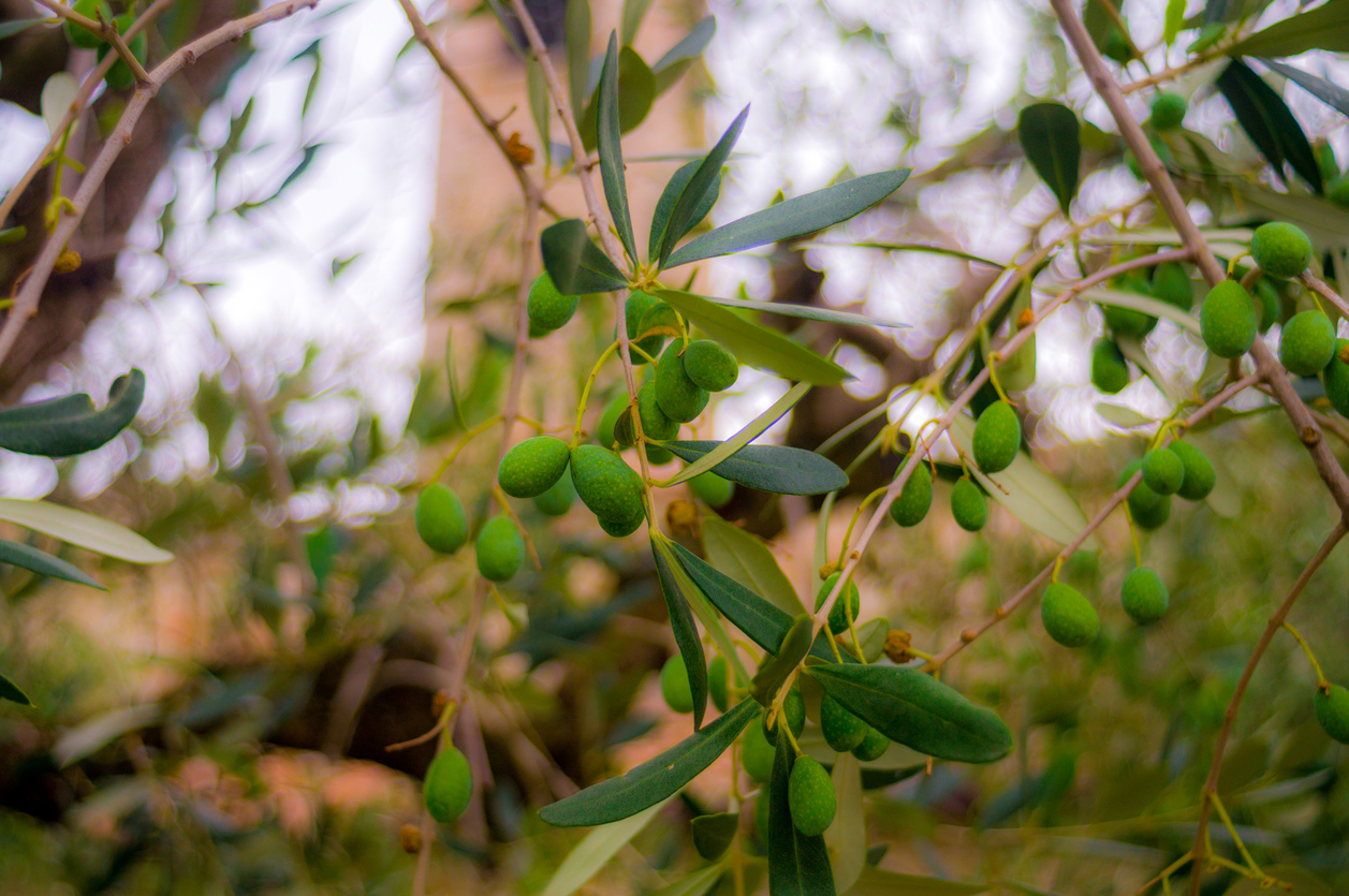 Green olives on tree branch