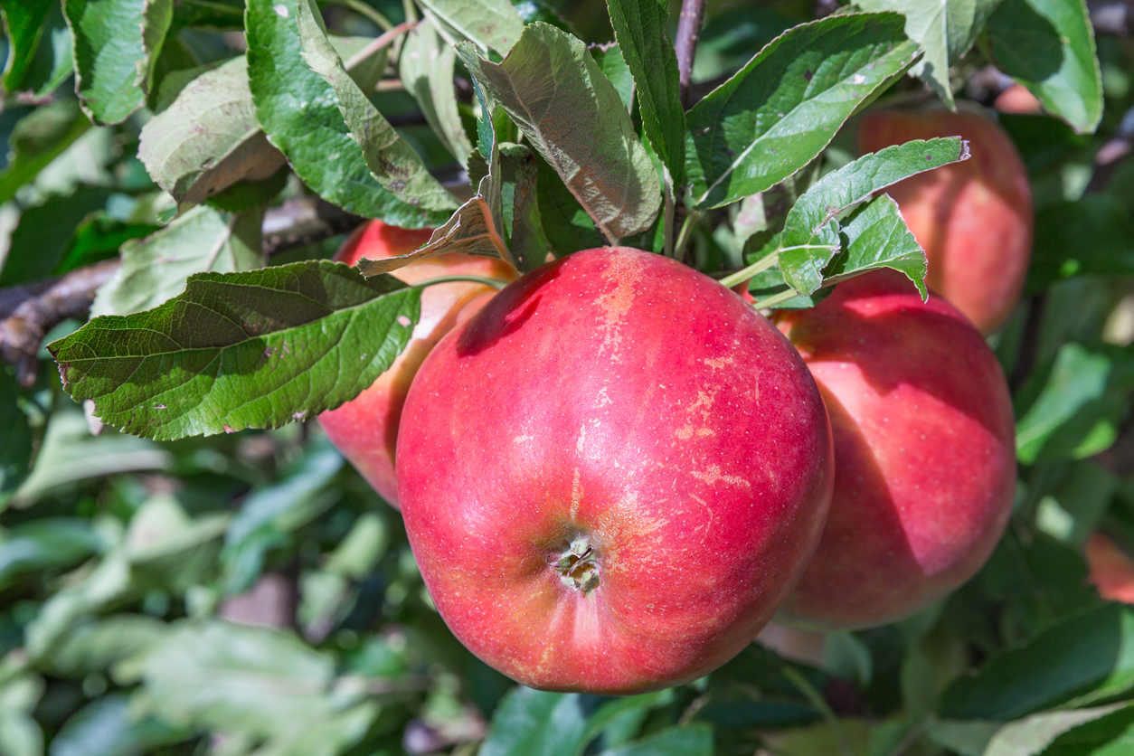 Dutch orchard with maturing apples