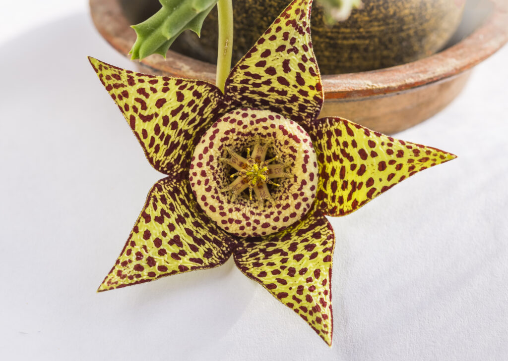 Close up of flower of succulent plant orbea variegata or stapelia variegata in flower pot at home known as star flower or starfish cactus, carrion cactus, carrion flower, toad cactus selective focus