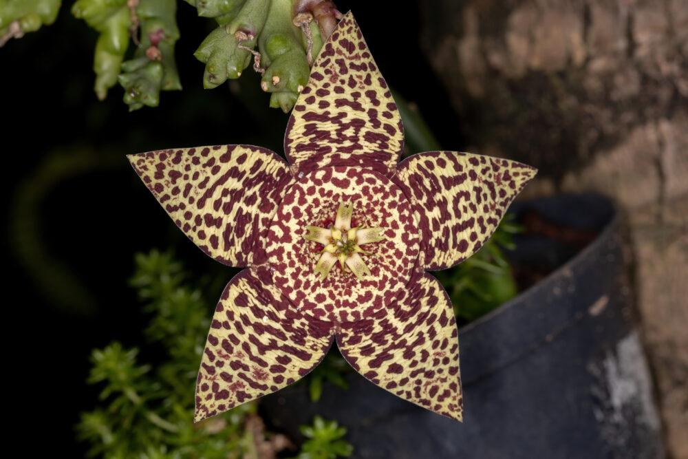 Цветок падаль Stapelia: советы по выращиванию и уходу за растением кактусовая морская звезда