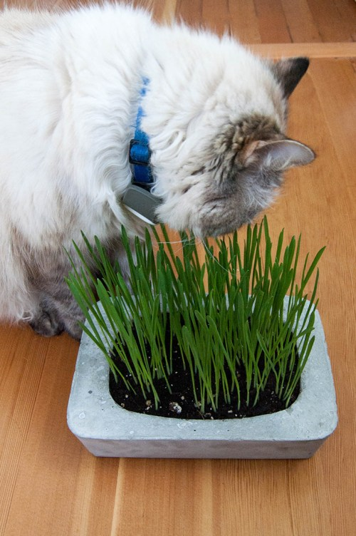 Cat grass planters